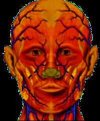 Anatomie Gesicht?